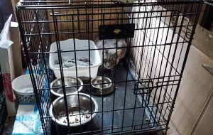 Cat hoarding cat in cage with no water or food