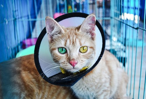 Cat wearing an Elizabathan collar to prevent licking of a wound