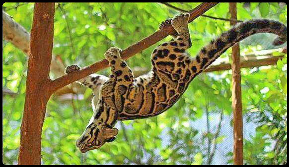 Clouded leopard is arboreal and can hang upside down like a monkey