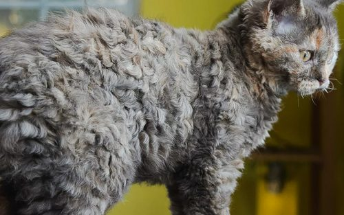 Curly-coated cat. The Selkirk Rex.