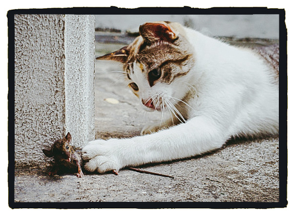 Domestic cats tend to be left-pawed