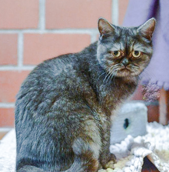 Exotic Shorthair rescued and considered ugly now adopted after one year at shelter