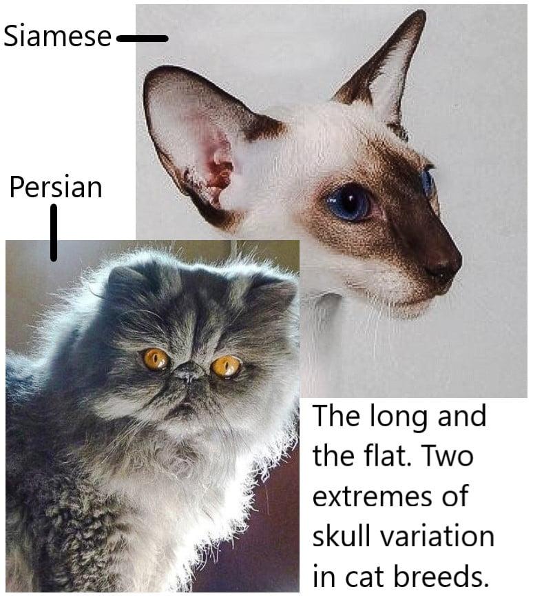Extremes of skull variation on cat breeds