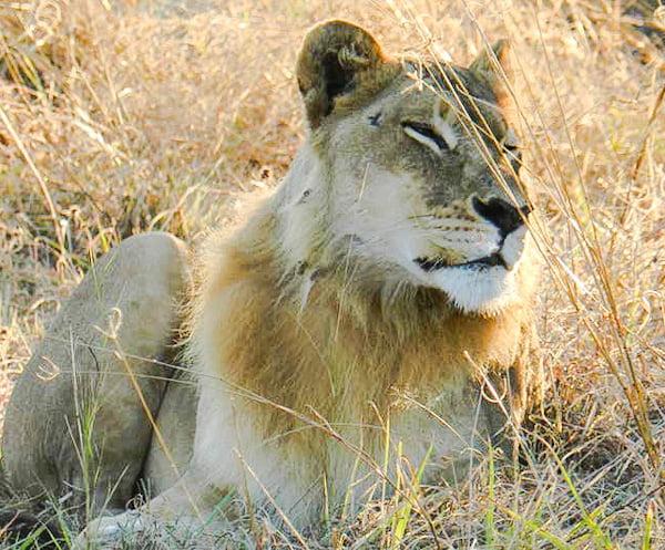 Female lion with mane
