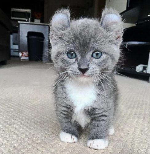 Kinkalow kitten