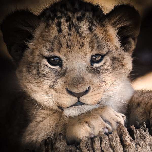 Lion cubs are vulnerable to infanticide by 'takeover males'