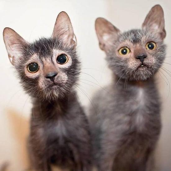 Lykoi siblings