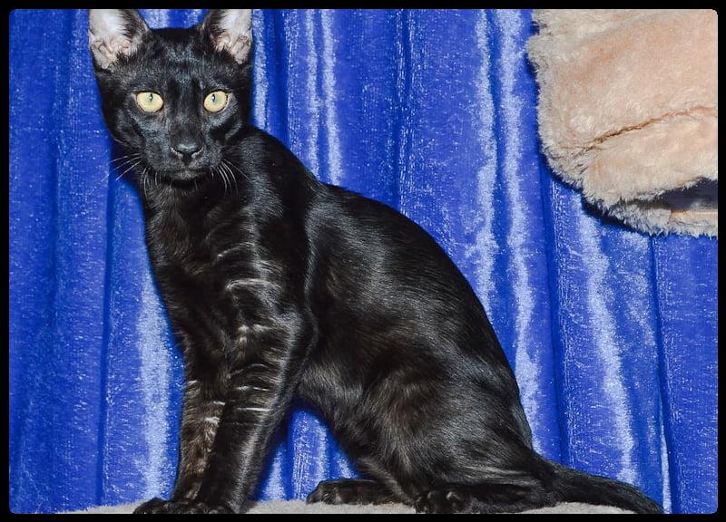 Melanistic Bengal cat