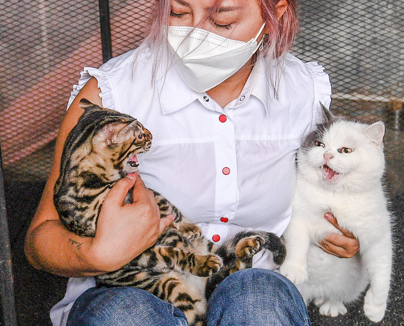 Nutch Prasopin holds two of the cats who are fighting. One is a Bengal while the other is possibly a British SH