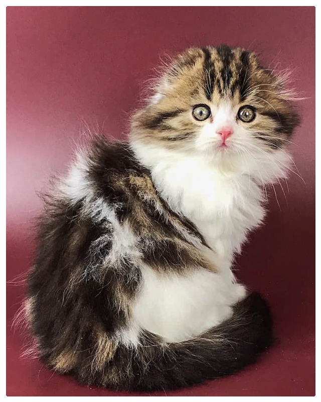 Owl-faced longhaired Scottish Fold kitten is a beauty