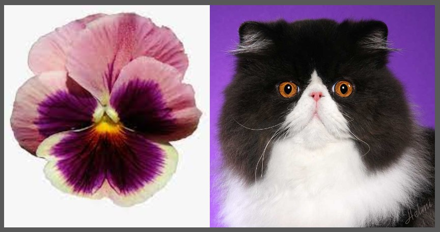 Pansy and pansy-headed Persian cat