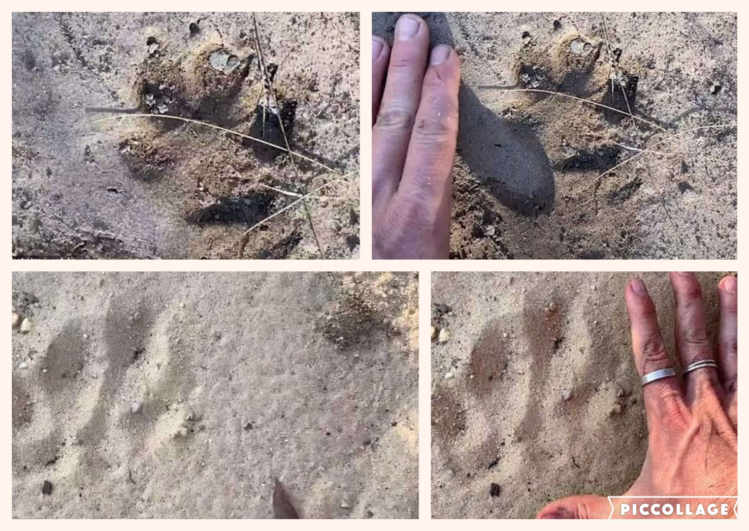 Pawprints of big cats in Blue Mountains NSW or some other animal?