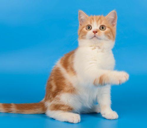 Scottish Straight red bicolor kitten