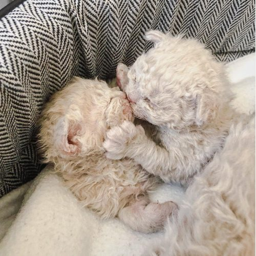 Selkirk Rex Kittens exchange a kiss