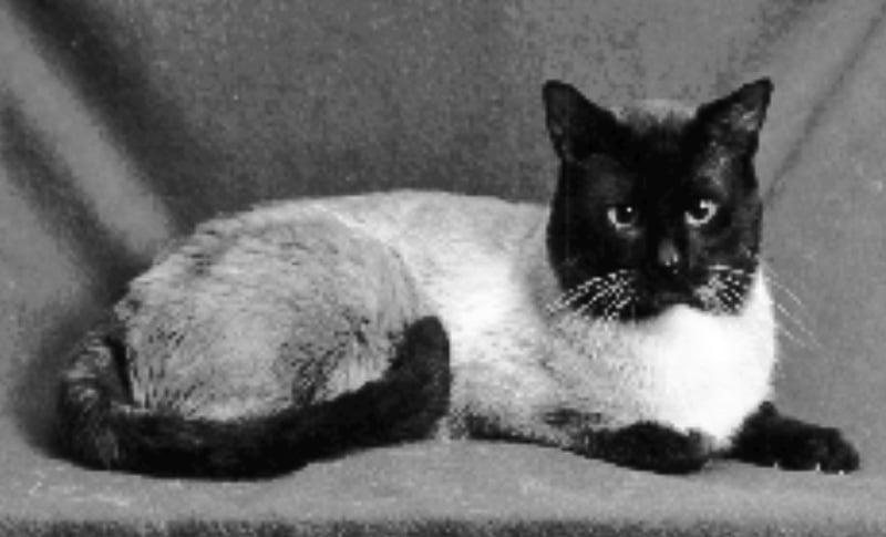 Siamese cat of 1995 looking a bit like a Moor-head cat