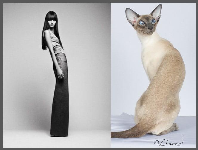 Slender Siamese based on elegance of slender women