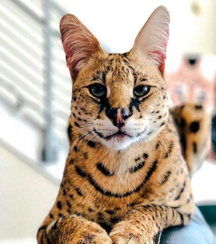 Stryker the Cat is a serval not an F1 Savannah cat