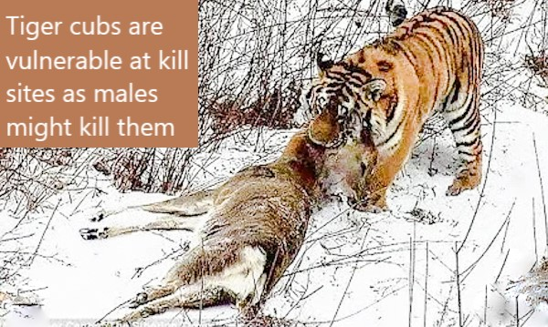 Tiger at kill site where young cubs are vulnerable to being killed by males