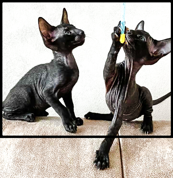 Two black Peterbald kittens playing in Russia