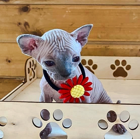 Wrinkly skin on head of Russian bred Don Sphynx