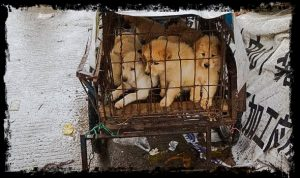 Yulin meat festival. A family of dogs is about to feel immense suffering and pain before being eaten by people.
