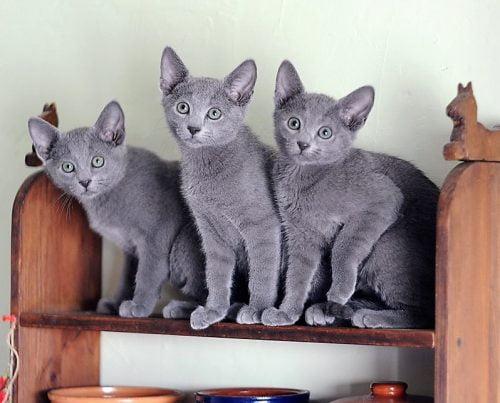 3 Russian Blue kittens in Saint Petersburg, Russia