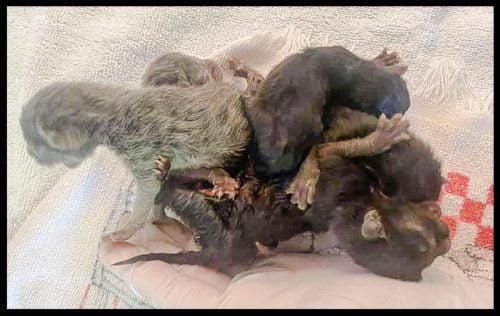 5 conjoined kittens born at Arizona animal rescue
