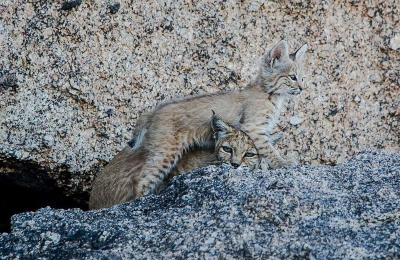 Bobcat den in a rock crevice