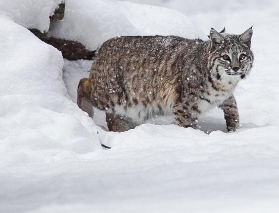 Bobcat den in snowy rock pile