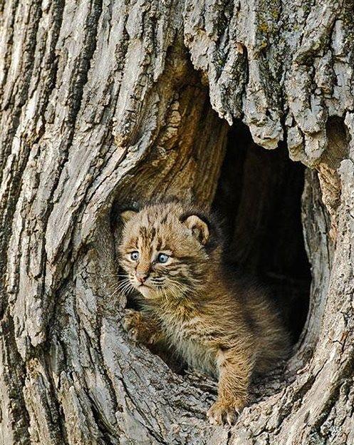 Bobcat den in tree trunk