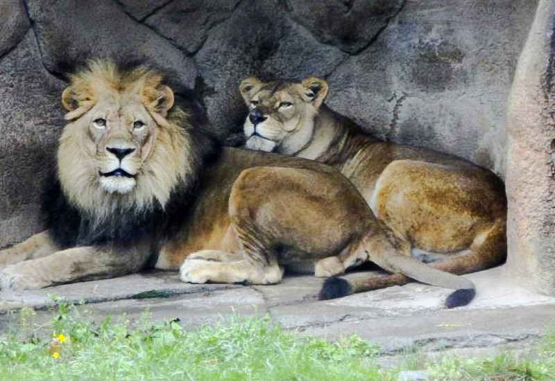 Can big cats in Indian zoos get Covid-19 from their food?