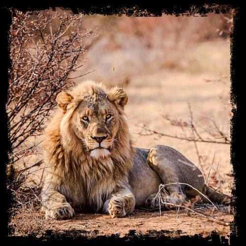 Canned lion hunting might be banned in South Africa