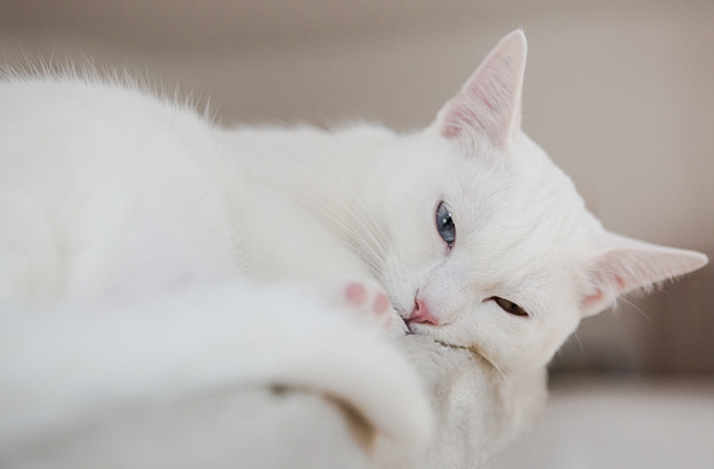 Cat slow blink is more about reciprocal friendship than intense mutual love
