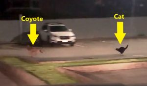 Cat chases coyote in parking lot