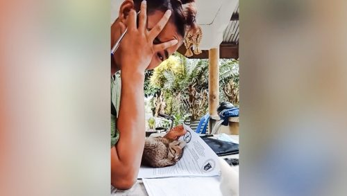Cute tabby kitten curls on man's papers as he tries to work