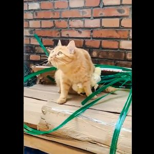Domestic cat protects baby chickens as if they were her kittens