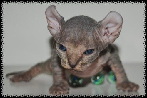 Evil looking Elf cat