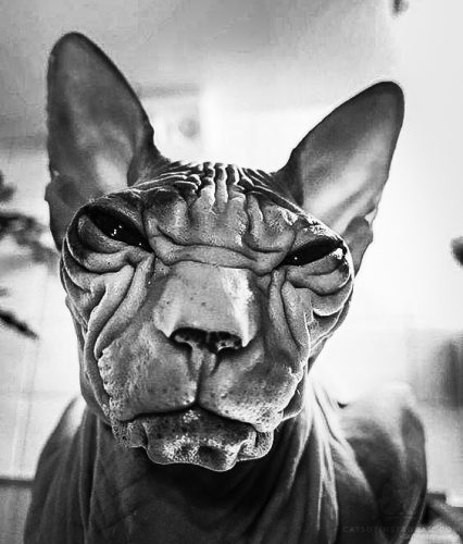 Extraordinary face of a male hairless domestic cat