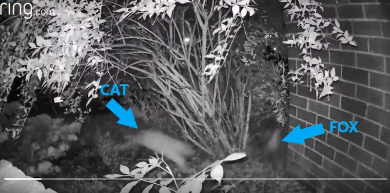 Feral cat chases away a fox who wants to eat from his bowl