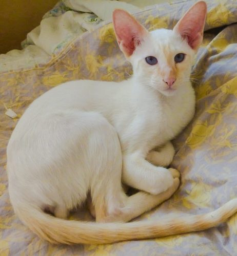 Male Flame point contemporary Siamese from Ukraine