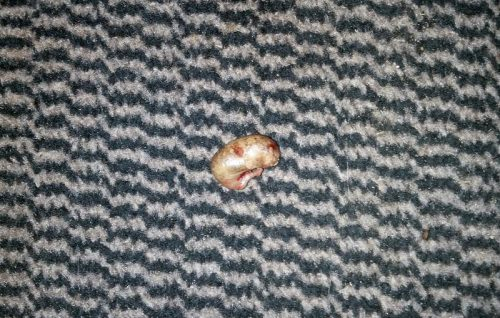 Is this all that is left of a mouse when your cat eats one?