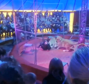 Lioness, Vega, attacks trainer, Maxi Orlov, in circus in Russia