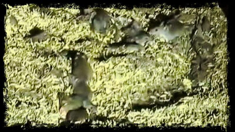 Mice invasion in NSW Australia
