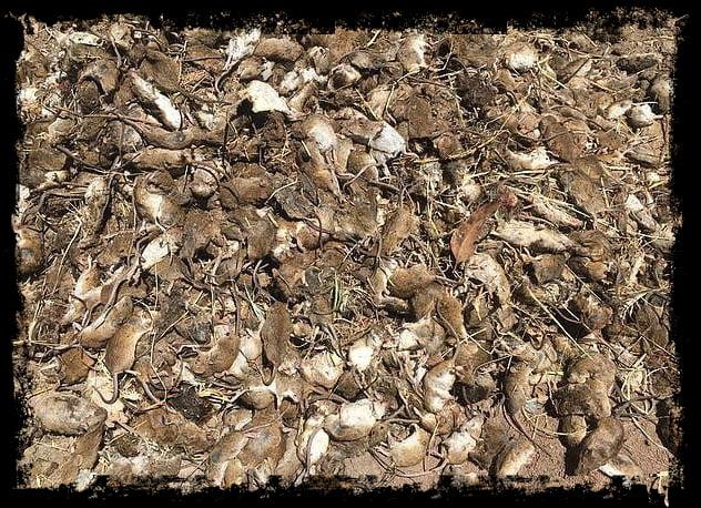 Mouse plague of Australia