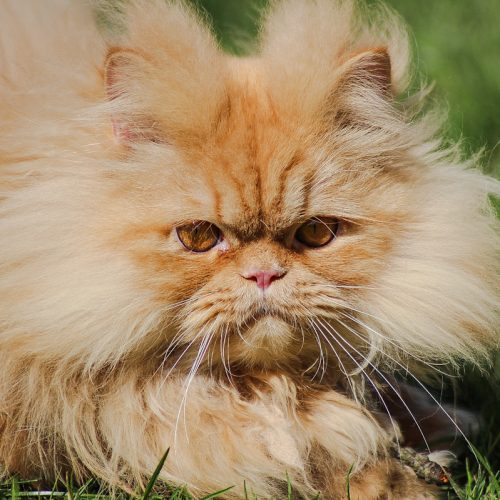 Persian cats are lazy for 3 potential reasons