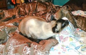 Siamese cat wheezing. Siamese are predisposed to this condition.