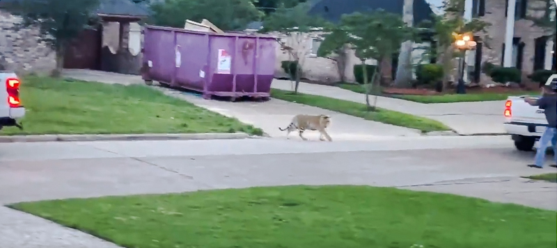 Stupid man comes out of his home to confront tiger and play the hero in testosterone fuelled idiocy