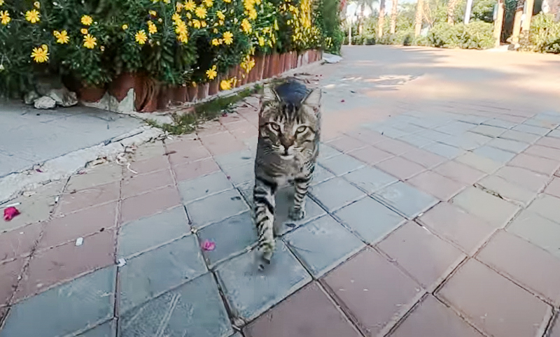 Tabby semi-feral cat greets with a trill