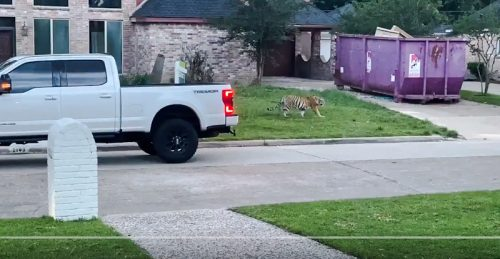 Tiger roaming around West Houston having escaped someone's home where they were a pet