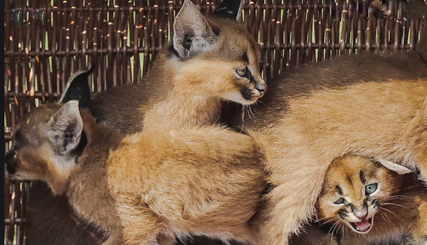 Young caracals believed to be the ones traded by Casacci
